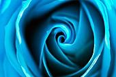 Dyed blue rose