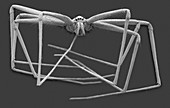 Cellar spider (Physocyclus mexicanus), SEM