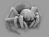 Jumping spider (Plexippus paykulli), SEM