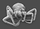 White-banded fishing spider, SEM