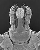 Lone star tick head (Amblyomma americanum), SEM