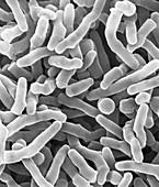 Propionibacterium acidipropionici, SEM