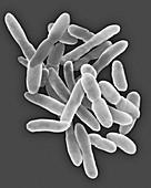 Arthrobacter sp., SEM