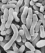 Corynebacterium tuberculostearicum, SEM