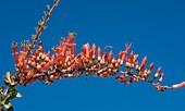 Ocotillo (Fouquieria splendens) in flower