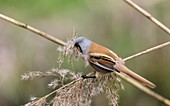 Male bearded tit collecting reed seeds