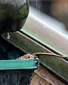 Mourning dove nesting in roof gutter