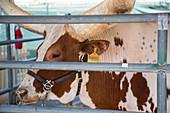 Longhorn cow