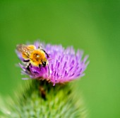 A bee on a thistle flower (close-up)