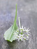 Fresh wild garlic with a leaf and flower