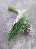 Fresh comfrey with a leaf and flower
