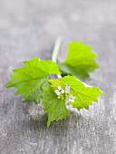 Garlic mustard with a leaf and flower