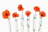A row of red poppies in glass test tubes