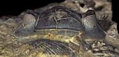 Trilobite head fossil