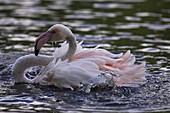 Flamingo splashing
