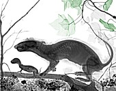 Polecat mother and pup, X-ray
