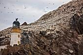 Northern gannet colony, Bass rock, Scotland