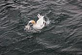 Northern gannet fishing, Scotland