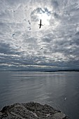 Northern gannets in flight, Bass rock, Scotland