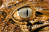 Broad-snouted caiman's eye