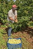 Apricot harvest near Mycenae, Greece.