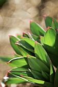 Fritillaria persica leaves