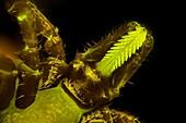 Tick head, light micrograph