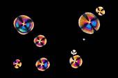 Glutamic acid neurotransmitter crystals, light micrograph