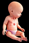 Baby's spleen anatomy, illustration