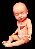 Baby's liver, illustration