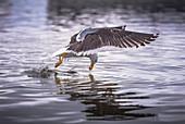 Gull fishing at water surface