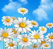 Daisy flowers, illustration