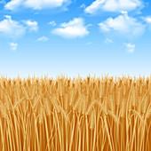 Wheat field, illustration