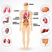 Human organs, illustration