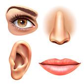 Human face part, illustration
