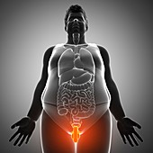 Male sex organs, illustration