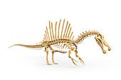 Spinosaurus dinosaur skeleton, illustration