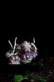 Young bulbs of garlic