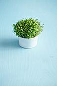 A pot of microgreens
