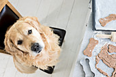 Dough and a bone-shaped cookie cutter on a table with a dog sitting in front of it