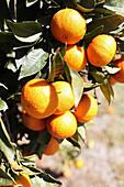 Reife Orangen am Baum im Sonnenlicht
