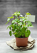 Fresh orange mint in a flowerpot