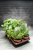 Various fresh herbs in flowerpots on a tray