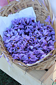 A basket of saffron flowers