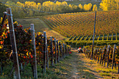 Vineyards and Tractor at Sunset, Monforte d'Alba, Piedmont, Italy
