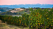 Vineyards and Mountain Landscape at Sunrise, Dogliani, Piedmont, Italy