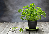 Fresh parsley in a pot