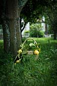 Frisch gepflückte Zitronen in Korb auf Wiese im Garten