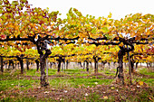 Autumnal grape vines at Granit Springs vineyard (Somerset, California)