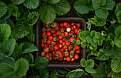 Freshly picked strawberries surrounded by strawberry plants